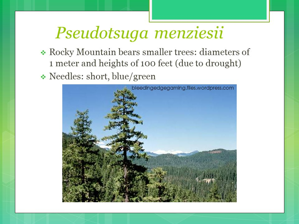 Pseudotsuga menziesii  Rocky Mountain bears smaller trees: diameters of 1 meter and heights of 100 feet (due to drought)  Needles: short, blue/green bleedingedgegaming.files.wordpress.com