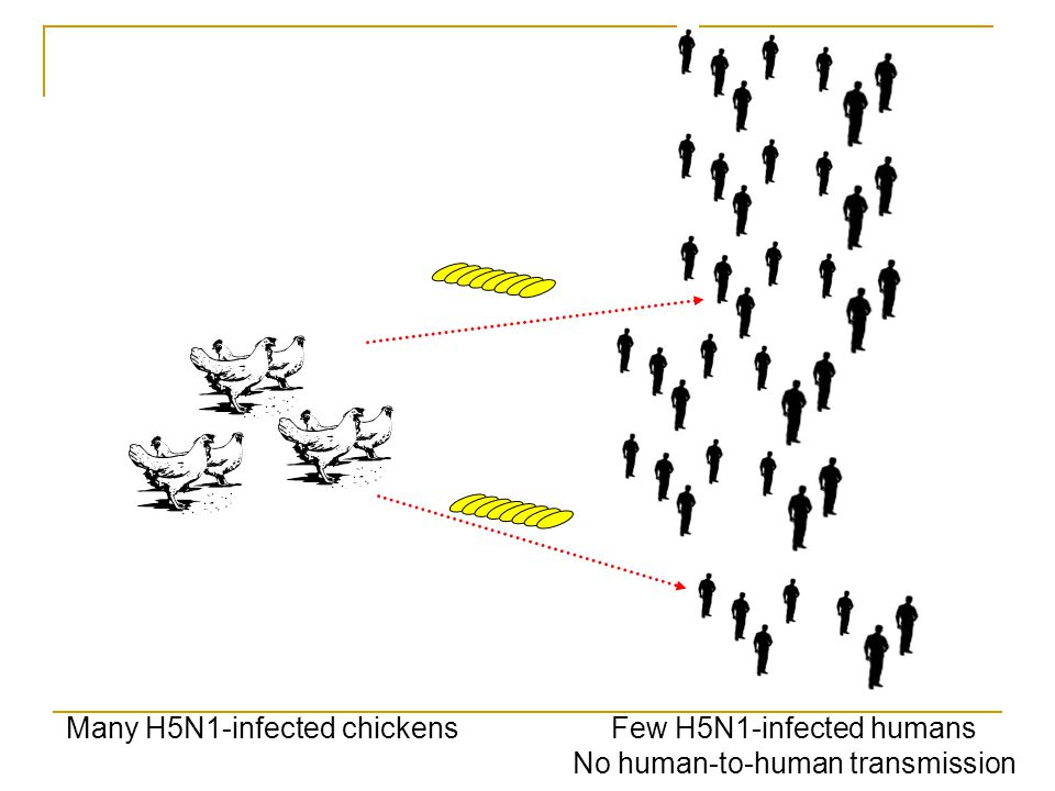 Many H5N1-infected chickensFew H5N1-infected humans No human-to-human transmission