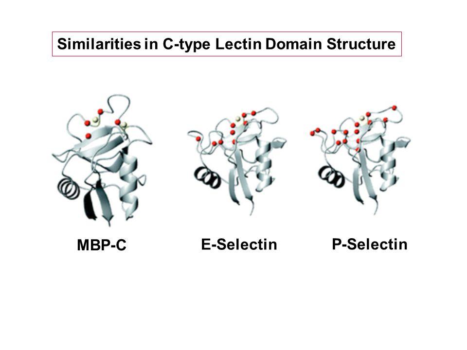 Similarities in C-type Lectin Domain Structure MBP-C E-Selectin P-Selectin
