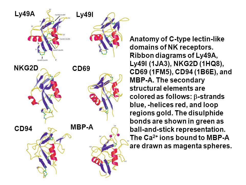 Anatomy of C-type lectin-like domains of NK receptors.