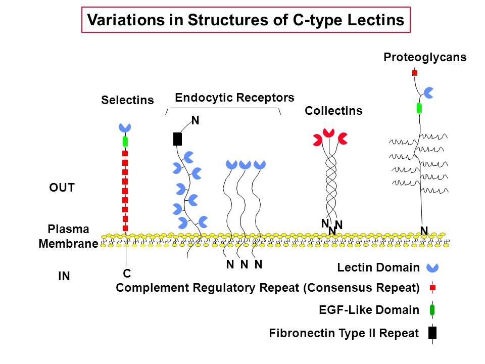 Selectins Plasma Membrane Endocytic Receptors Proteoglycans Collectins Lectin Domain EGF-Like Domain Complement Regulatory Repeat (Consensus Repeat) Fibronectin Type II Repeat OUT IN a N N N N N N N N C Variations in Structures of C-type Lectins