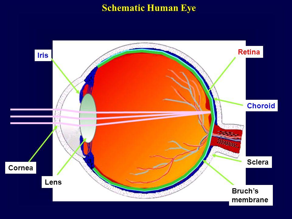 Schematic Human Eye Cornea Lens Iris Retina Choroid Sclera Bruch's membrane
