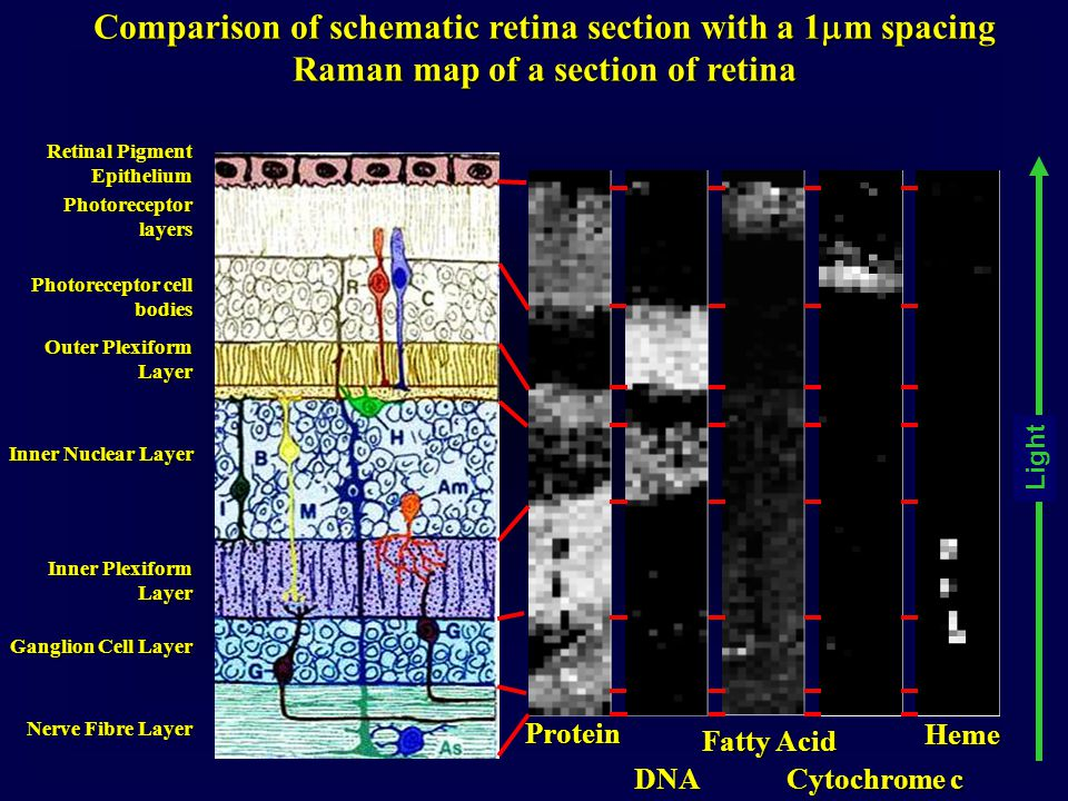 Comparison of schematic retina section with a 1  m spacing Raman map of a section of retina Retinal Pigment Epithelium Photoreceptor layers Photorece