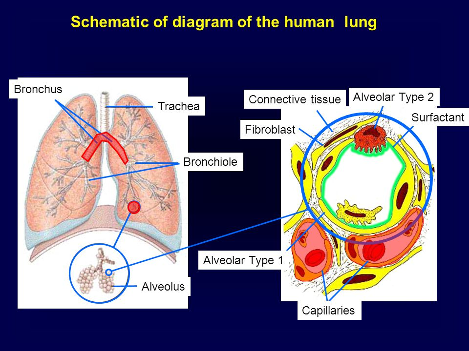 Bronchus Trachea Bronchiole Alveolus Schematic of diagram of the human lung Alveolar Type 2 Fibroblast Alveolar Type 1 Connective tissue Surfactant Ca