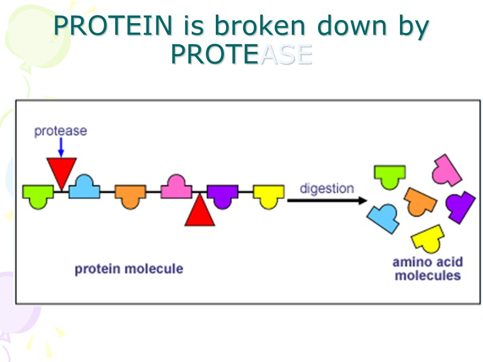 PROTEIN is broken down by PROTEASE
