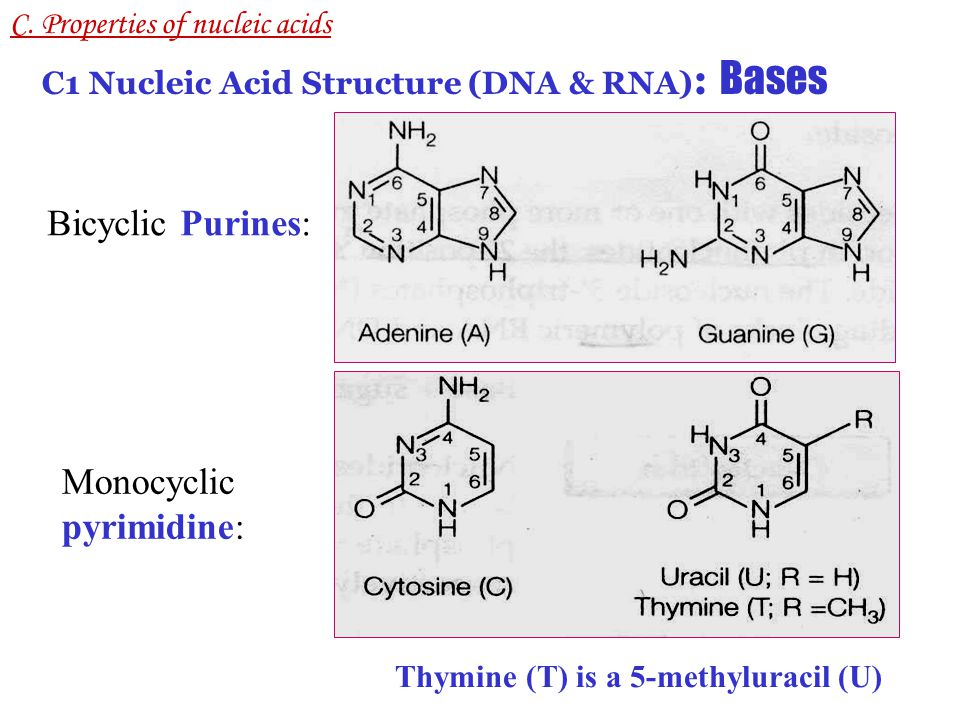 The bases are covalently attached to the 1' position of a pentose sugar ring, to form a nucleoside Adenosine, guanosine, cytidine, thymidine, uridine Glycosidic (glycoside, glycosylic) bond ( 糖苷键 ) R Ribose or 2'-deoxyribose C.