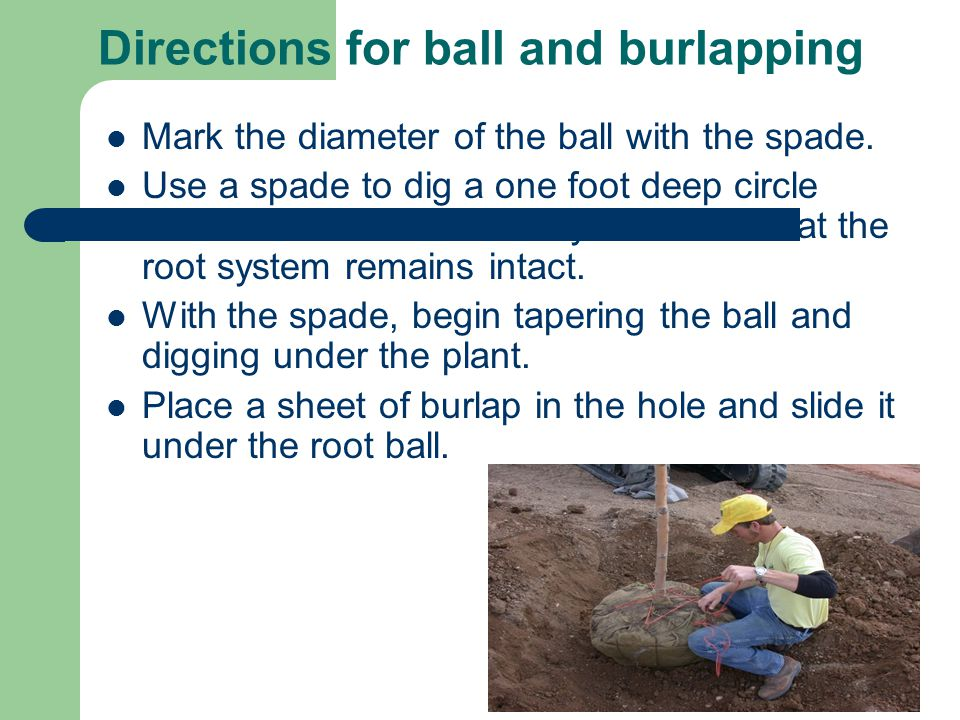 Directions for ball and burlapping Mark the diameter of the ball with the spade.