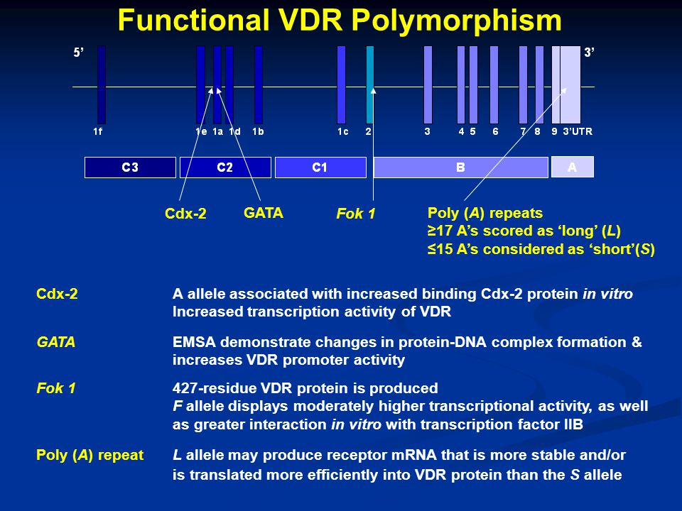 Cdx-2A allele associated with increased binding Cdx-2 protein in vitro Increased transcription activity of VDR Cdx-2 Functional VDR Polymorphism Fok 1 Poly (A) repeats ≥17 A's scored as 'long' (L) ≤15 A's considered as 'short'(S) Fok 1427-residue VDR protein is produced F allele displays moderately higher transcriptional activity, as well as greater interaction in vitro with transcription factor IIB Poly (A) repeatL allele may produce receptor mRNA that is more stable and/or is translated more efficiently into VDR protein than the S allele GATAEMSA demonstrate changes in protein-DNA complex formation & increases VDR promoter activity GATA