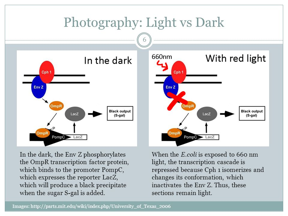 Photography: Light vs Dark Images: http://parts.mit.edu/wiki/index.php/University_of_Texas_2006 6 In the dark, the Env Z phosphorylates the OmpR transcription factor protein, which binds to the promoter PompC, which expresses the reporter LacZ, which will produce a black precipitate when the sugar S-gal is added.