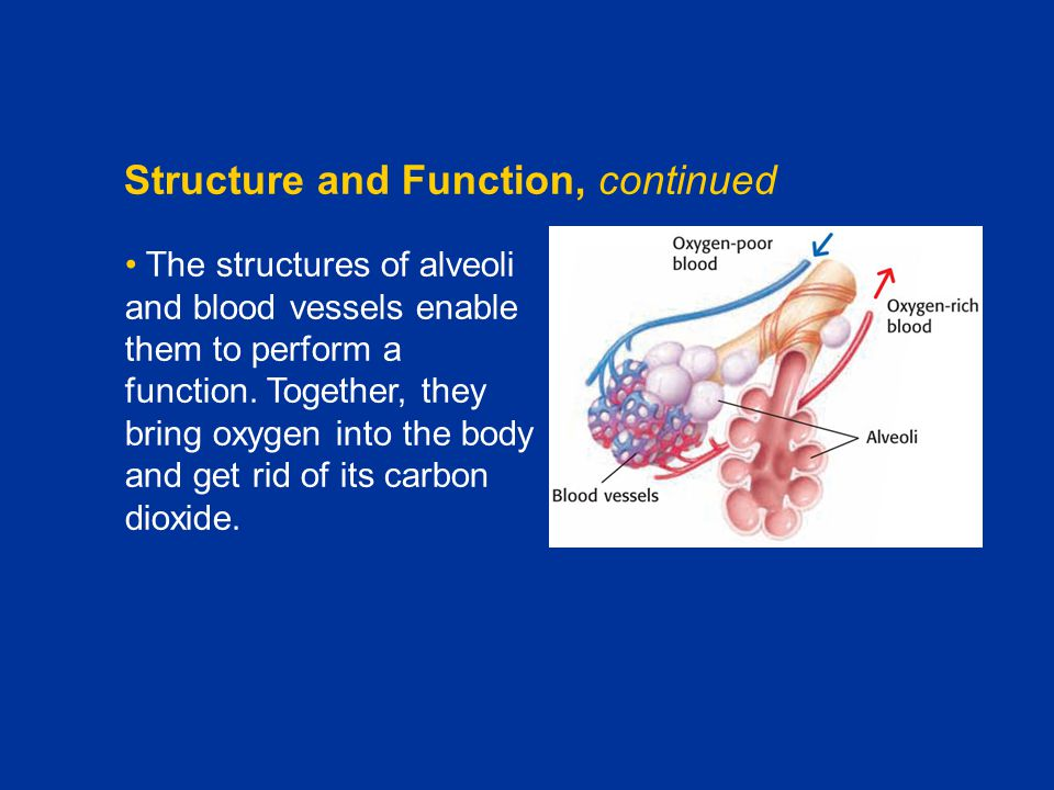 Structure and Function, continued The structures of alveoli and blood vessels enable them to perform a function. Together, they bring oxygen into the