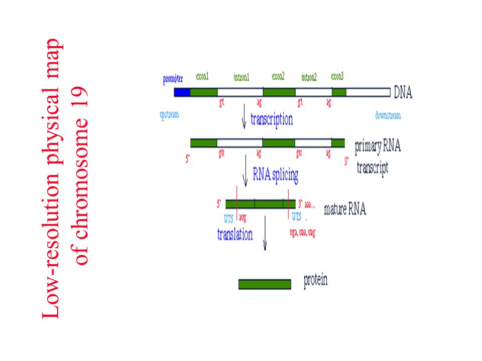 Low-resolution physical map of chromosome 19