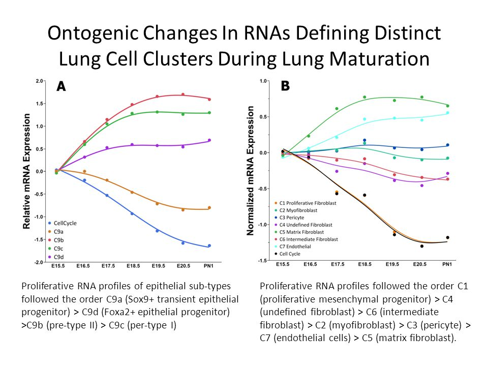 Ontogenic Changes In RNAs Defining Distinct Lung Cell Clusters During Lung Maturation Proliferative RNA profiles followed the order C1 (proliferative mesenchymal progenitor) > C4 (undefined fibroblast) > C6 (intermediate fibroblast) > C2 (myofibroblast) > C3 (pericyte) > C7 (endothelial cells) > C5 (matrix fibroblast).