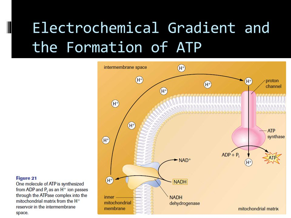 Electrochemical Gradient and the Formation of ATP