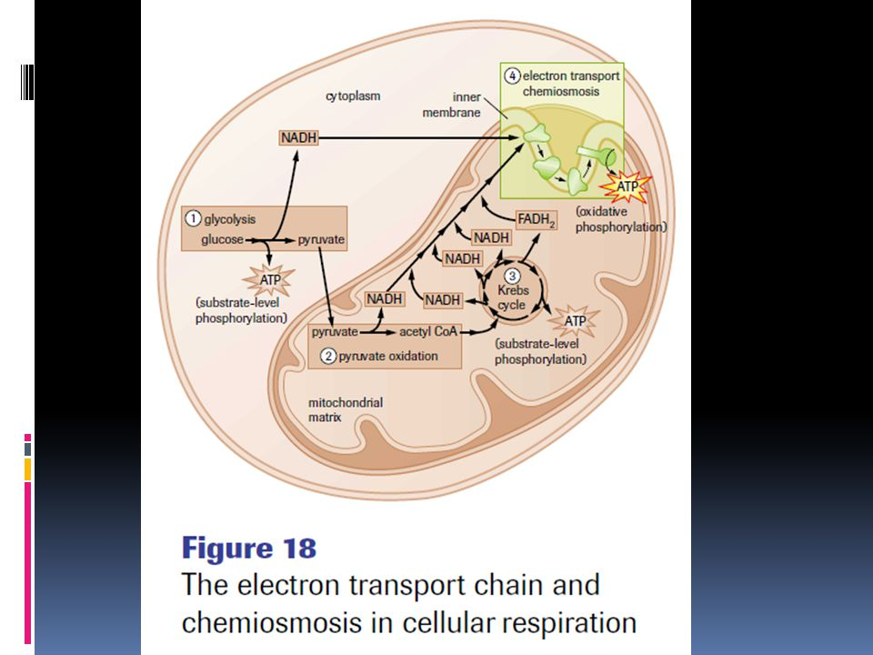 Yeah...so. Electrons from NADH and FADH2 donated to electron transport.