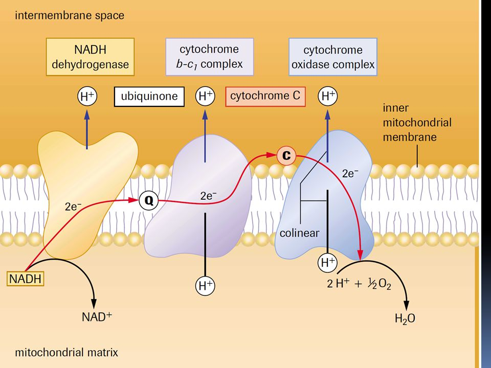 Cyanide  Cyanide inhibits cytochrome oxidase activity  This prevents _____________ from acting as the final electron acceptor  Shuts down the ETC, H+ pumps, and consequently, ATP production.