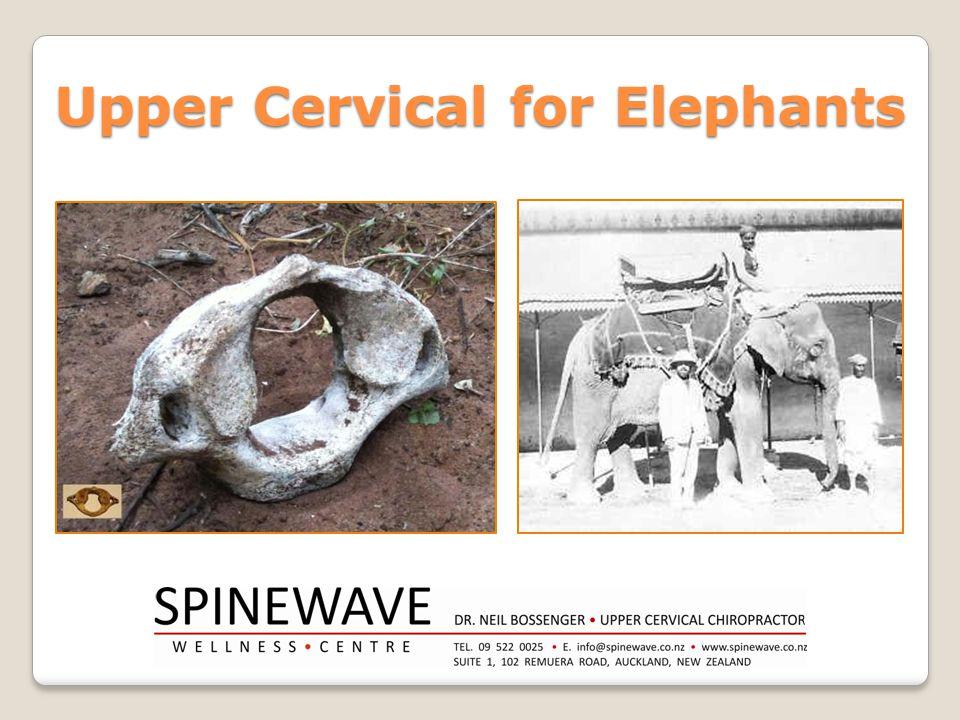 Upper Cervical for Elephants