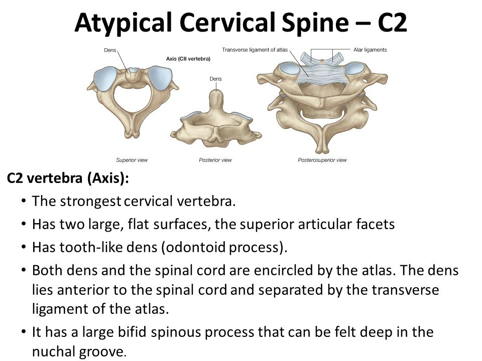 Atypical Cervical Spine – C2 C2 vertebra (Axis): The strongest cervical vertebra.