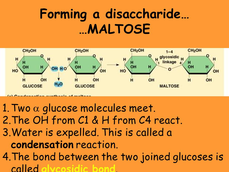 Forming a disaccharide… …MALTOSE 1.Two  glucose molecules meet. 2.The OH from C1 & H from C4 react. 3.Water is expelled. This is called a condensatio