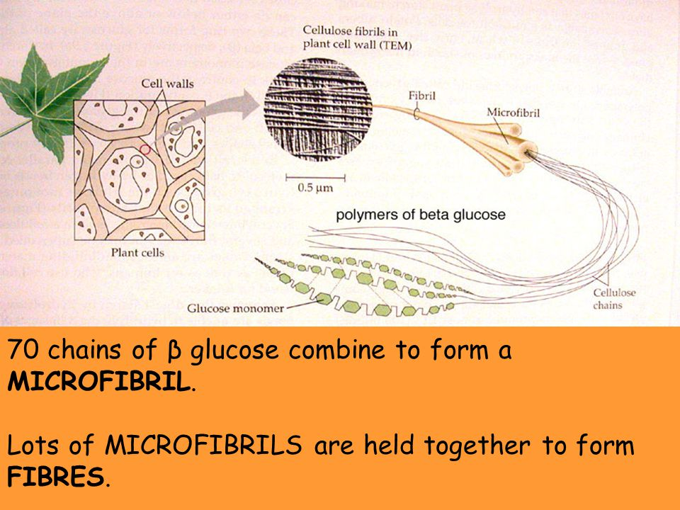 70 chains of β glucose combine to form a MICROFIBRIL. Lots of MICROFIBRILS are held together to form FIBRES.