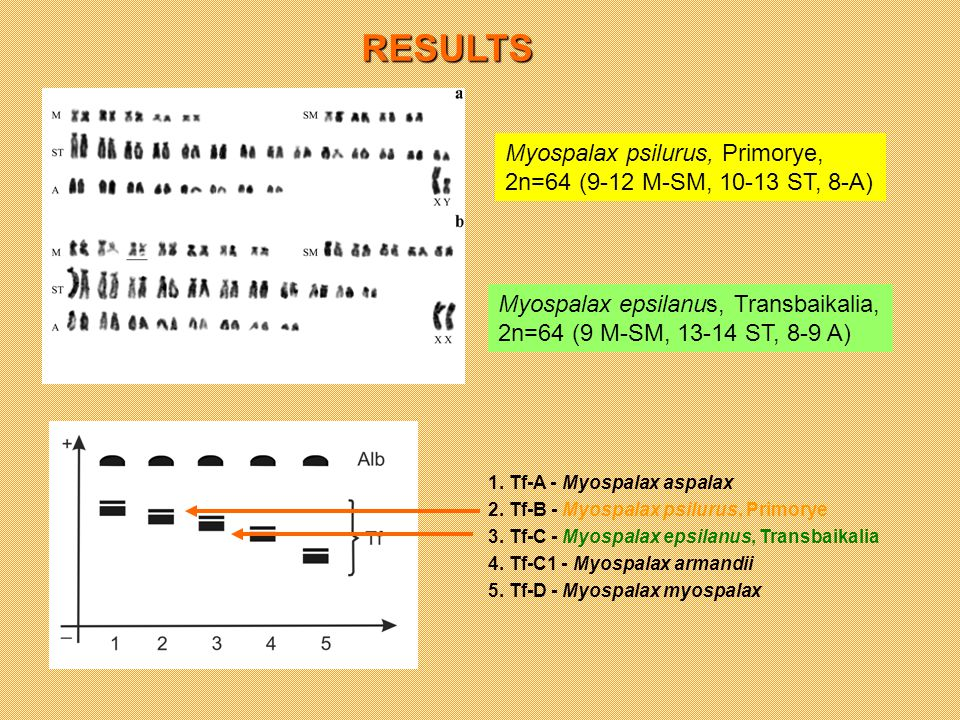 RESULTS Myospalax epsilanus, Transbaikalia, 2n=64 (9 M-SM, 13-14 ST, 8-9 A) Myospalax psilurus, Primorye, 2n=64 (9-12 M-SM, 10-13 ST, 8-A) 1.