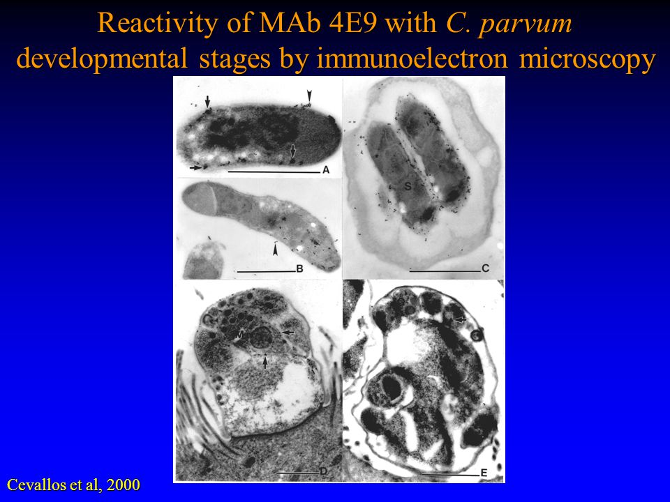 Reactivity of MAb 4E9 with C. parvum developmental stages by immunoelectron microscopy Cevallos et al, 2000