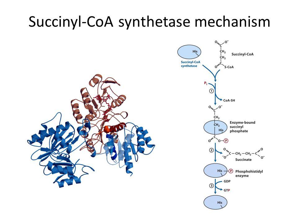 Succinyl-CoA synthetase mechanism