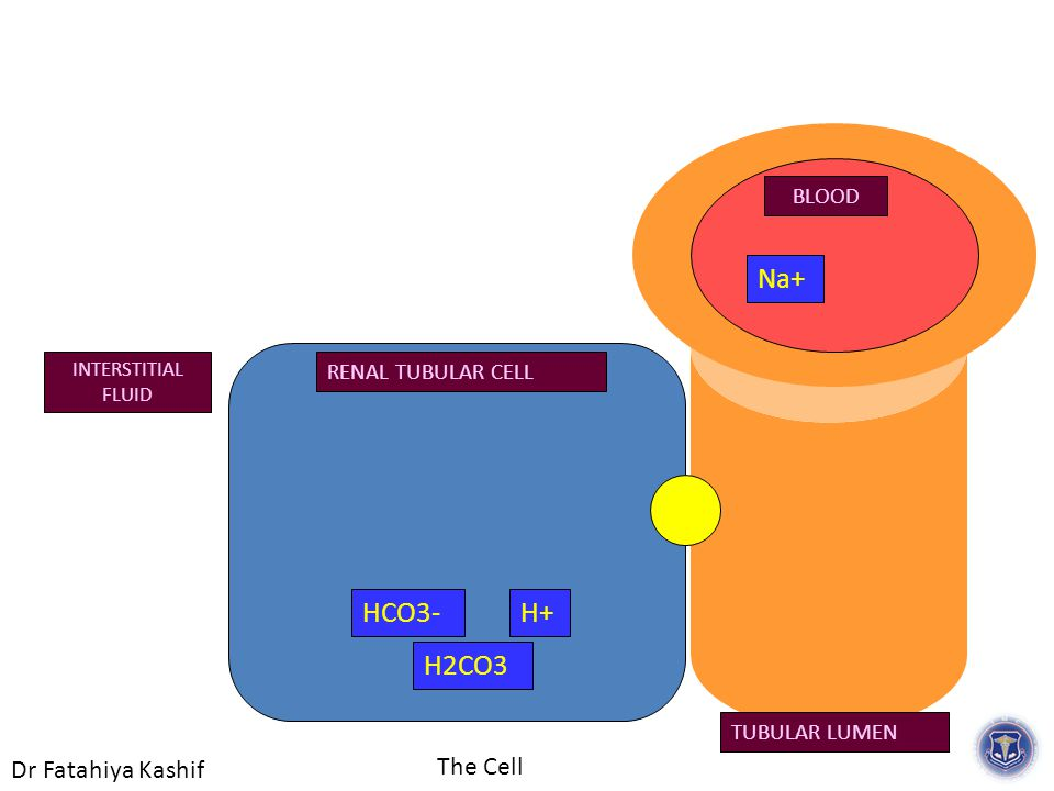 Dr Fatahiya Kashif The Cell RENAL TUBULAR CELL TUBULAR LUMEN INTERSTITIAL FLUID BLOOD H2CO3 HCO3-H+ Na+