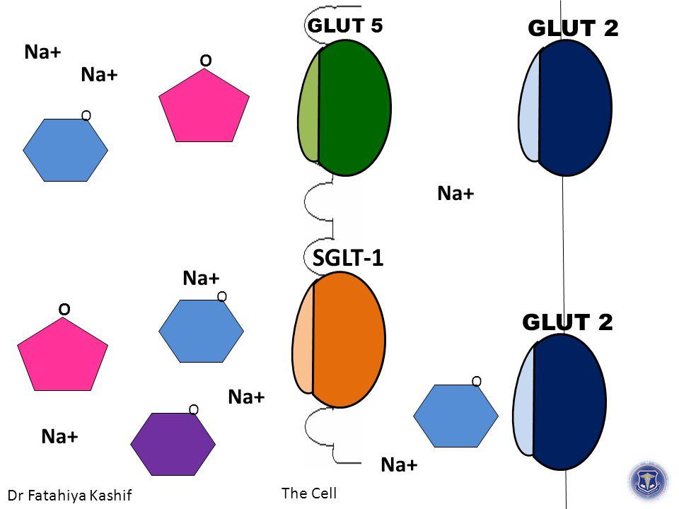 Dr Fatahiya Kashif The Cell GLUT 5 GLUT 2 O Na+ O O SGLT-1 O Na+ O GLUT 2 O