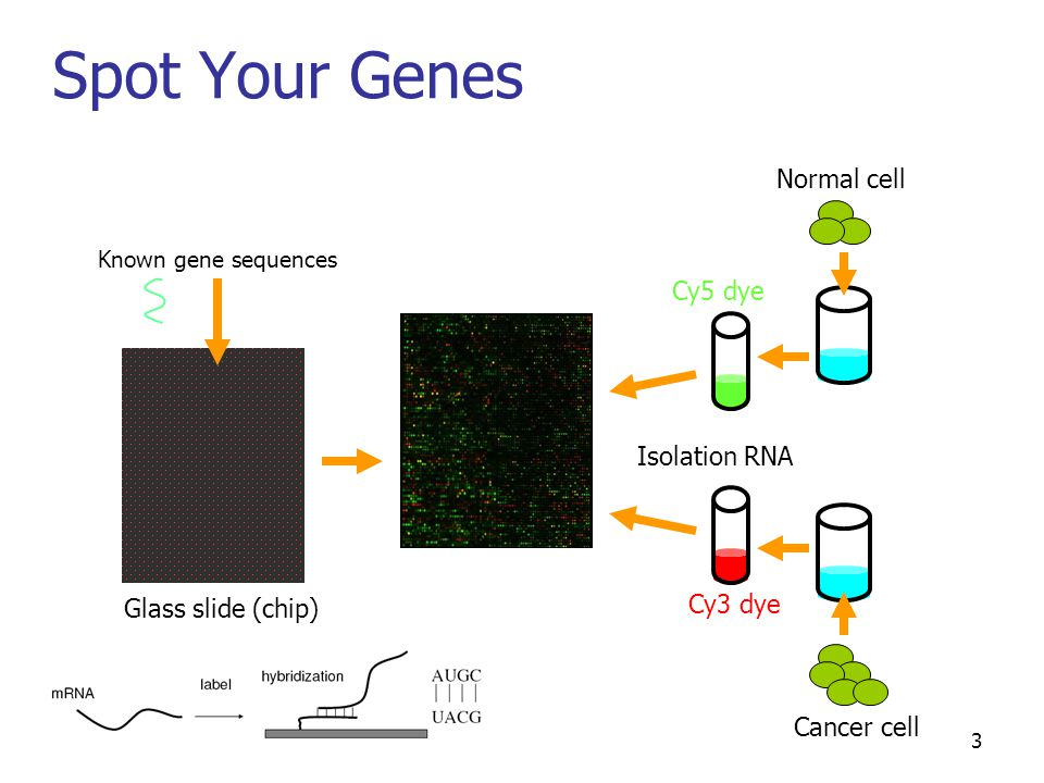 3 Spot Your Genes Known gene sequences Glass slide (chip) Cancer cell Normal cell Isolation RNA Cy3 dye Cy5 dye