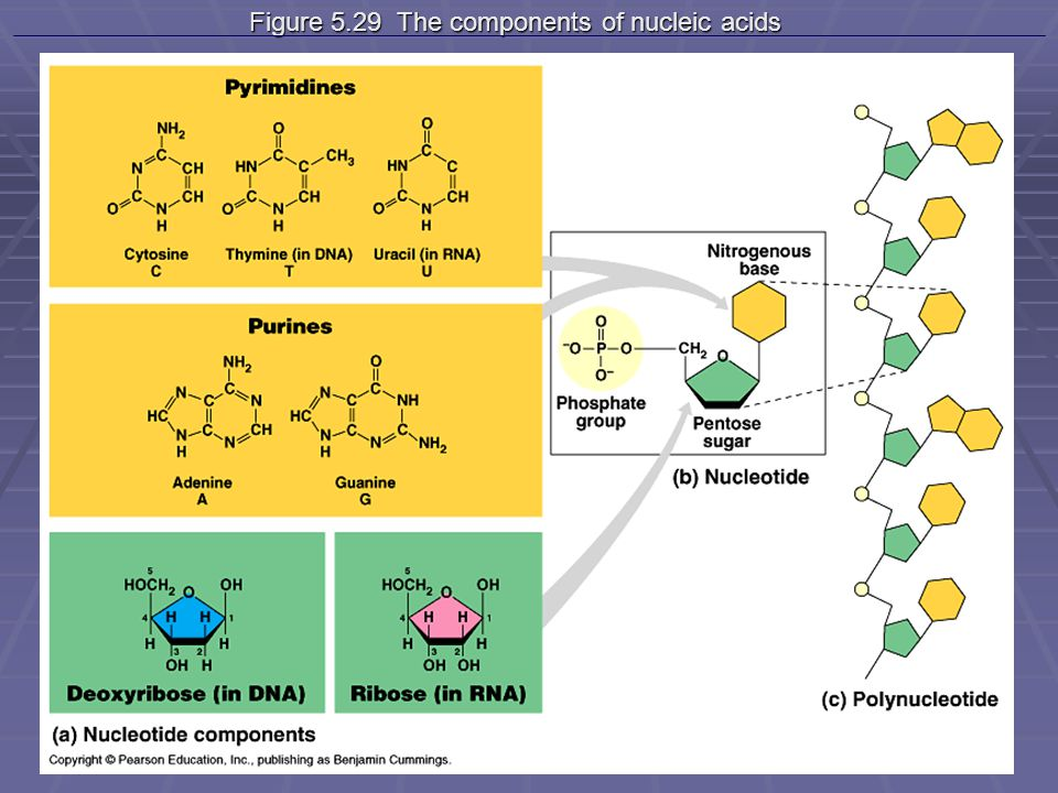 Figure 5.29 The components of nucleic acids Figure 5.29 The components of nucleic acids