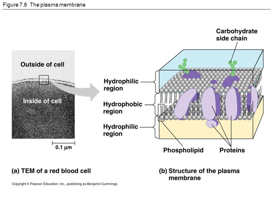 Figure 7.6 The plasma membrane