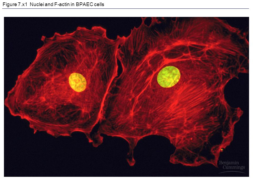 Figure 7.x1 Nuclei and F-actin in BPAEC cells