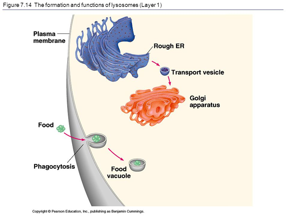 Figure 7.14 The formation and functions of lysosomes (Layer 1)