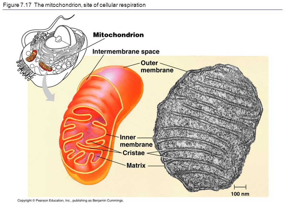 Figure 7.17 The mitochondrion, site of cellular respiration