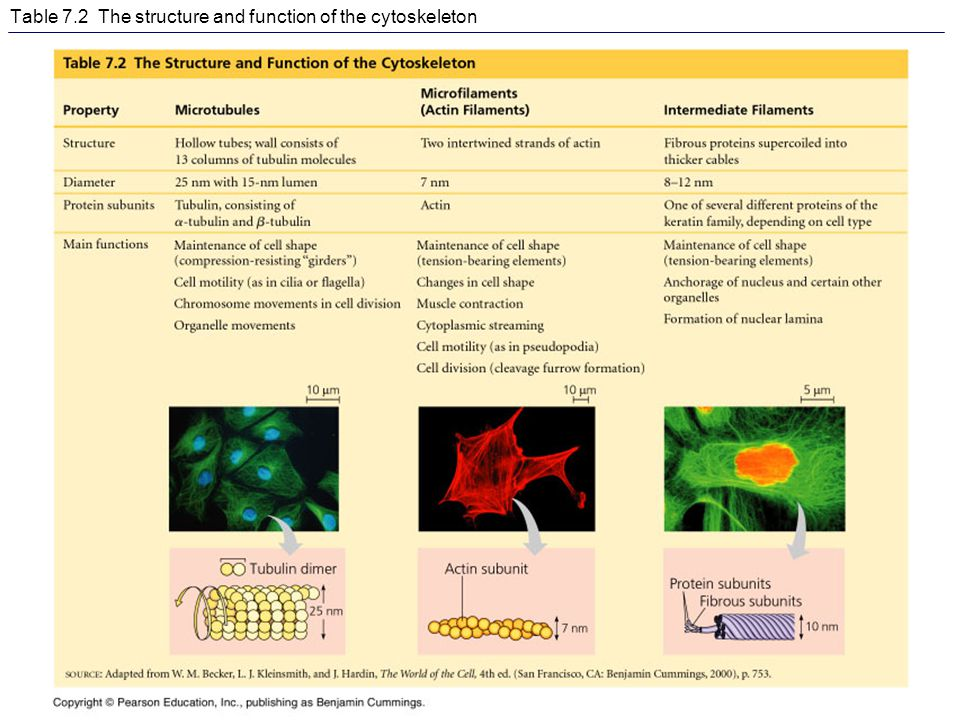 Table 7.2 The structure and function of the cytoskeleton