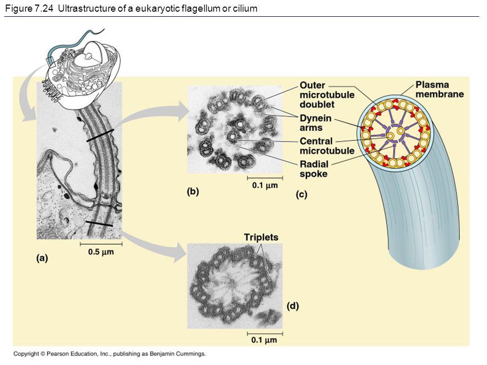 Figure 7.24 Ultrastructure of a eukaryotic flagellum or cilium