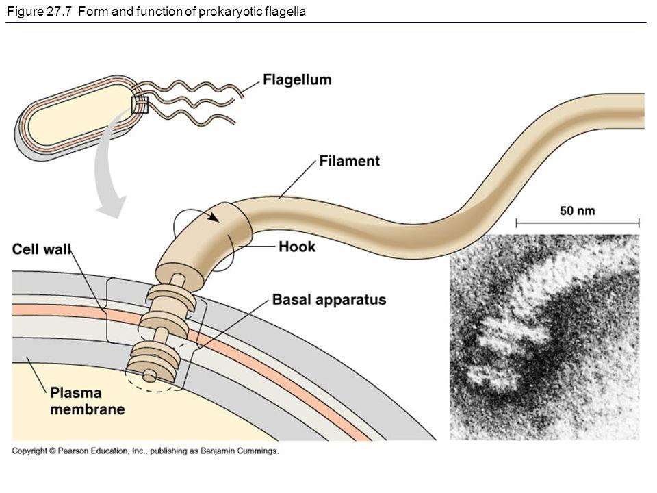 Figure 27.7 Form and function of prokaryotic flagella
