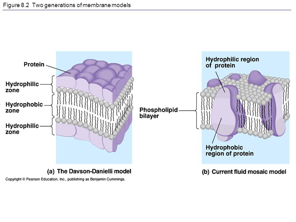 Figure 8.2 Two generations of membrane models