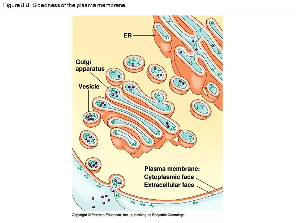 Figure 8.8 Sidedness of the plasma membrane