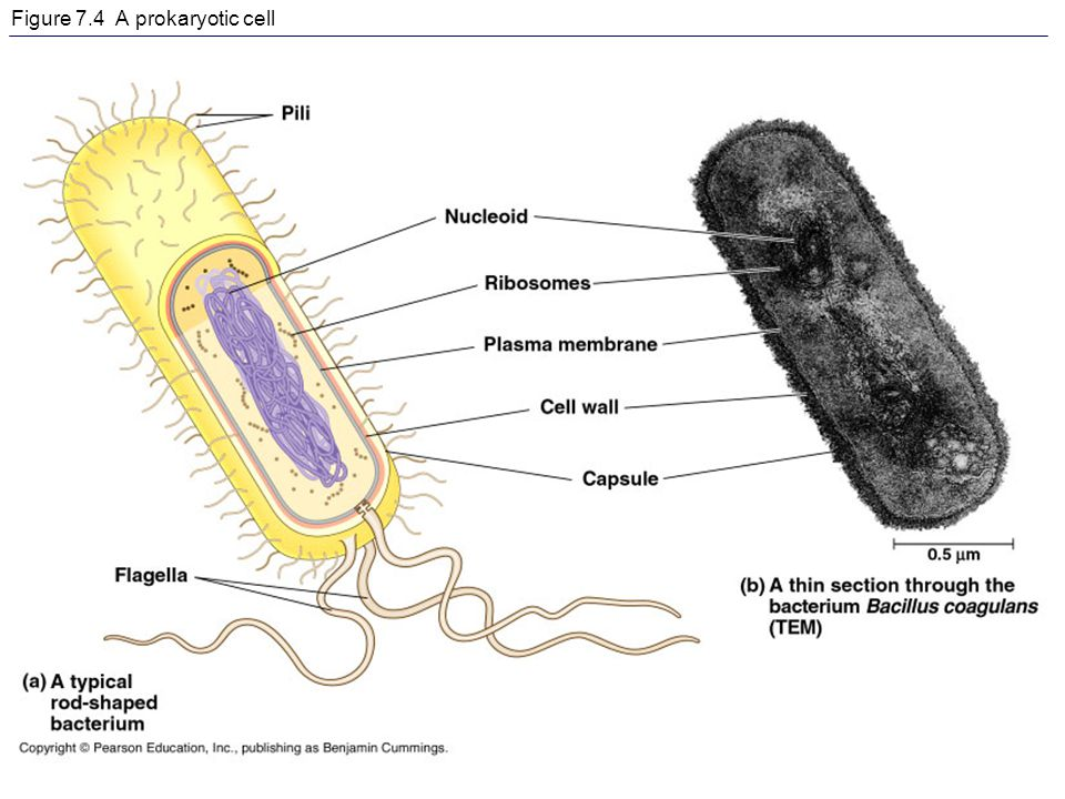 Figure 7.4 A prokaryotic cell