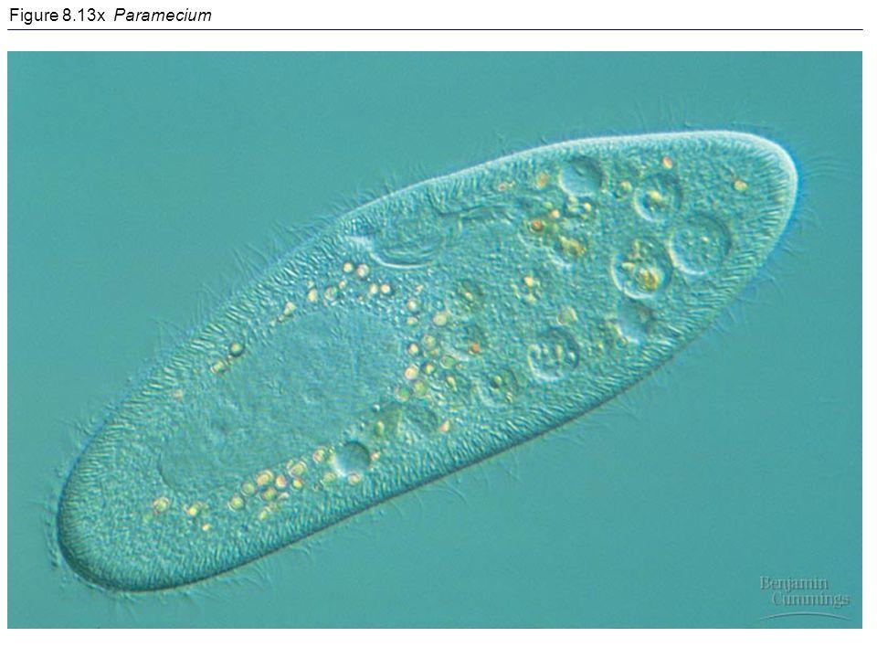 Figure 8.13x Paramecium