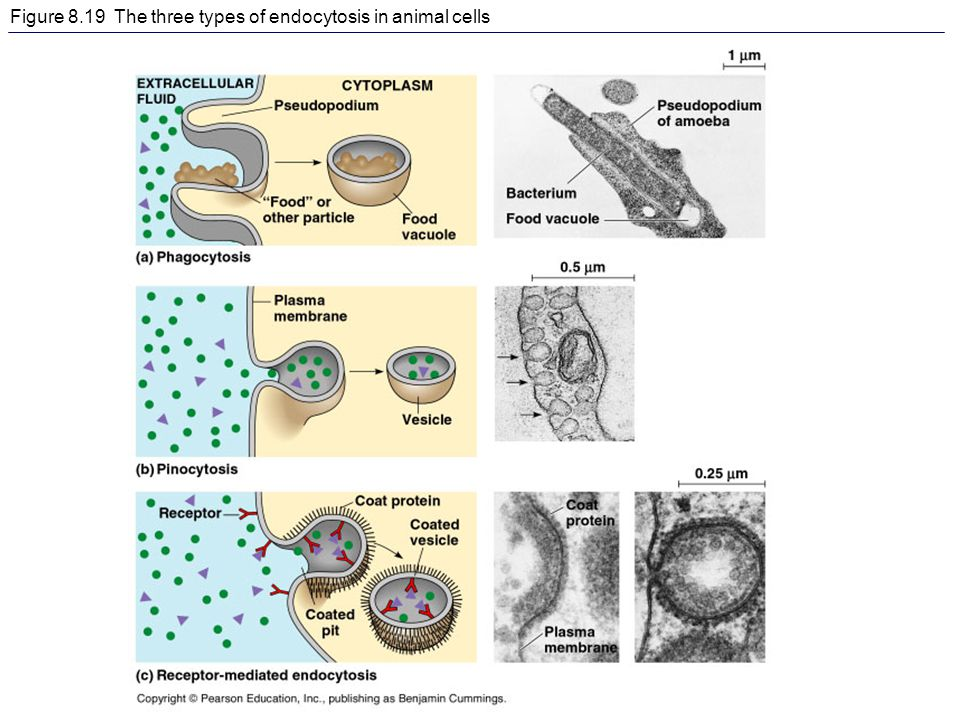 Figure 8.19 The three types of endocytosis in animal cells