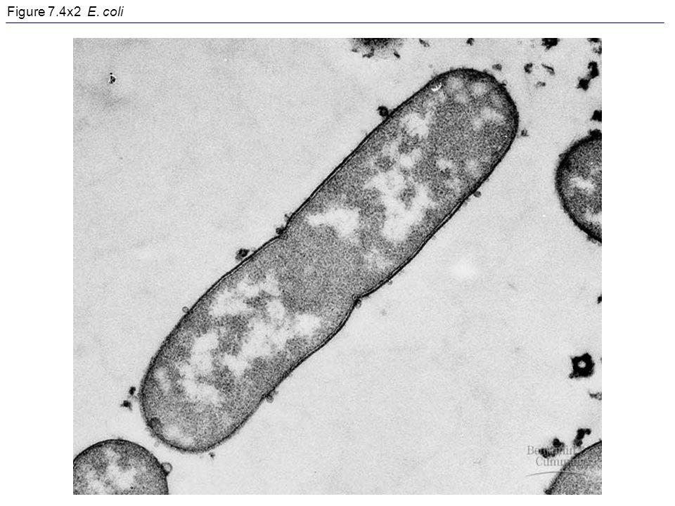 Figure 7.4x2 E. coli