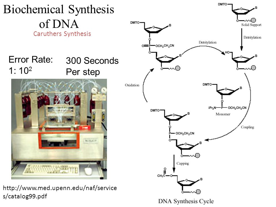 Caruthers Synthesis Biochemical Synthesis of DNA http://www.med.upenn.edu/naf/service s/catalog99.pdf Error Rate: 1: 10 2 300 Seconds Per step