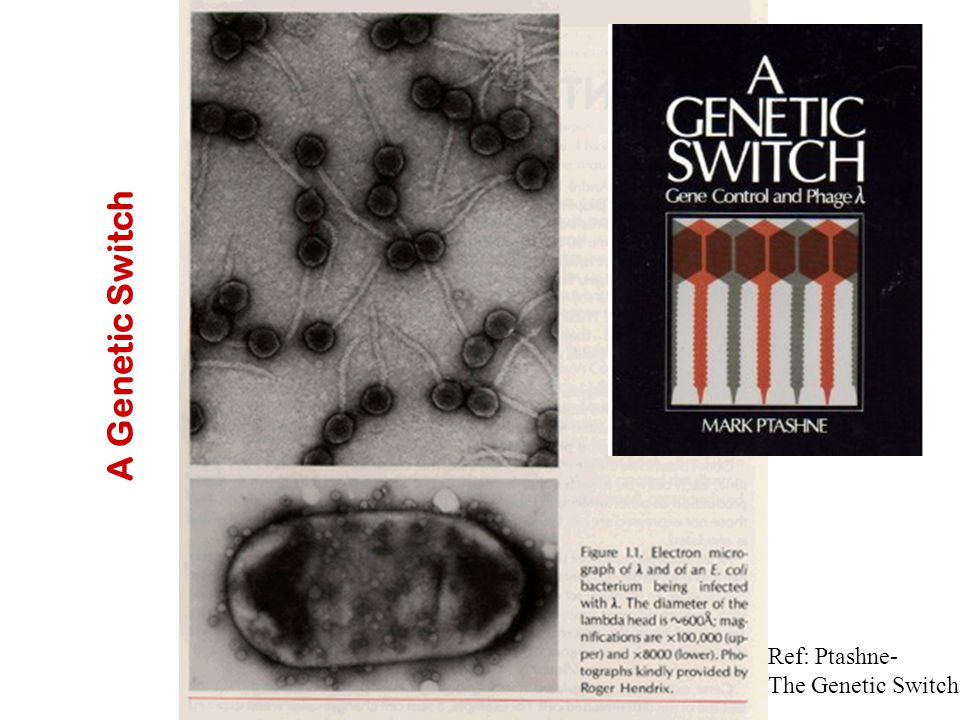 A Genetic Switch Ref: Ptashne- The Genetic Switch
