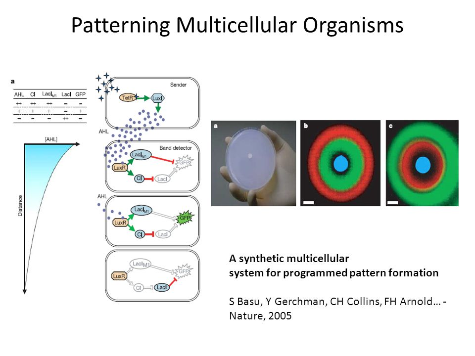 Patterning Multicellular Organisms A synthetic multicellular system for programmed pattern formation S Basu, Y Gerchman, CH Collins, FH Arnold… - Nature, 2005