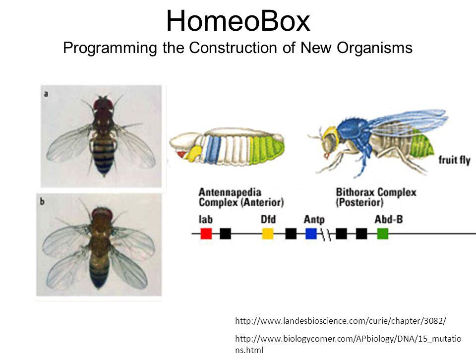http://www.landesbioscience.com/curie/chapter/3082/ http://www.biologycorner.com/APbiology/DNA/15_mutatio ns.html HomeoBox Programming the Construction of New Organisms