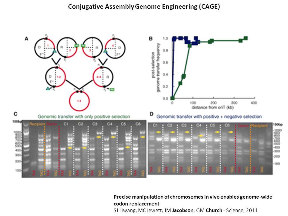 Precise manipulation of chromosomes in vivo enables genome-wide codon replacement SJ Hwang, MC Jewett, JM Jacobson, GM Church - Science, 2011 Conjugat