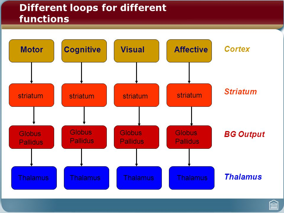 Motor Cognitive Visual Affective striatum Globus Pallidus Thalamus striatum Thalamus striatum Thalamus Cortex Striatum BG Output Thalamus striatum Different loops for different functions Globus Pallidus Globus Pallidus Globus Pallidus