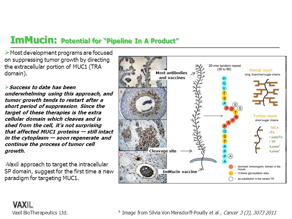 "Vaxil BioTherapeutics Ltd. ImMucin: Potential for ""Pipeline In A Product"" * Image from Silvia Von Mensdorff-Pouilly et al, Cancer 3 (3), 3073 2011 Mos"